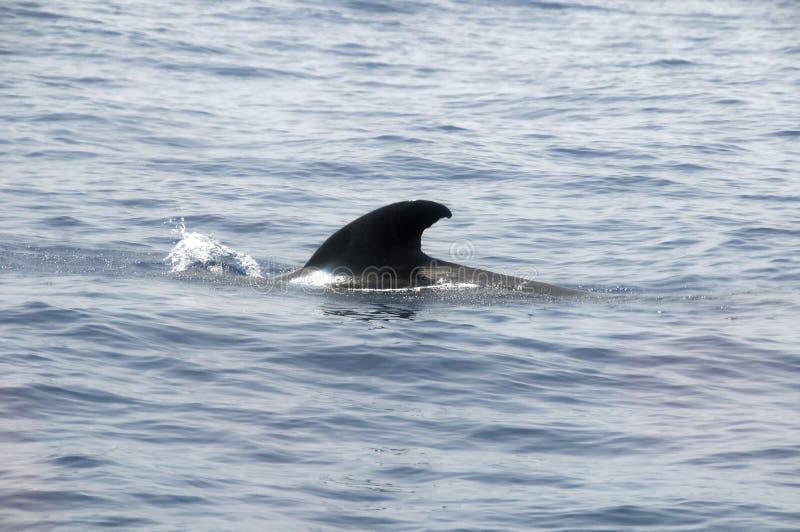 Pilote Whale photos stock
