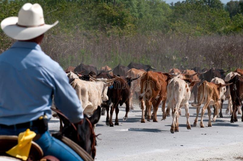 piloter de bétail mon photos stock