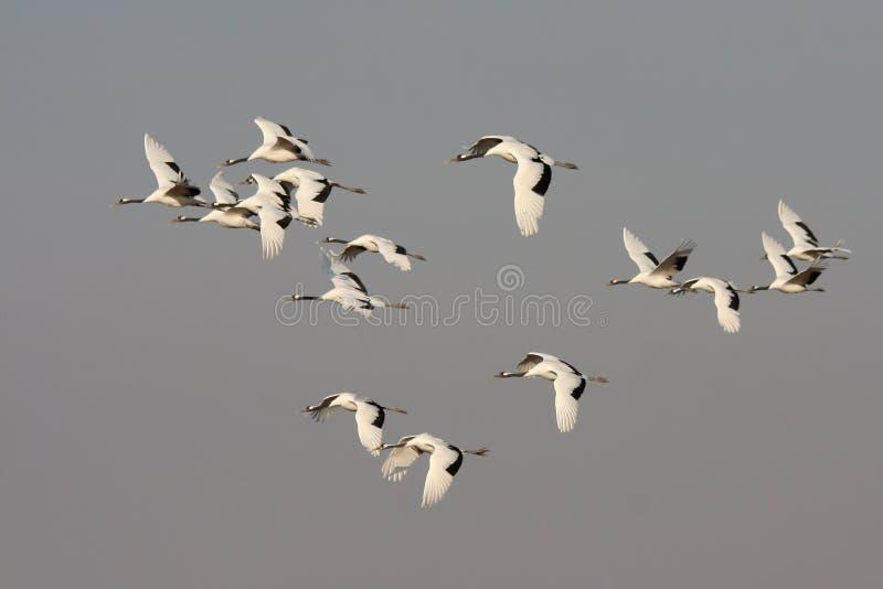 Piloter l'oiseau rouge-couronné de grue photos stock
