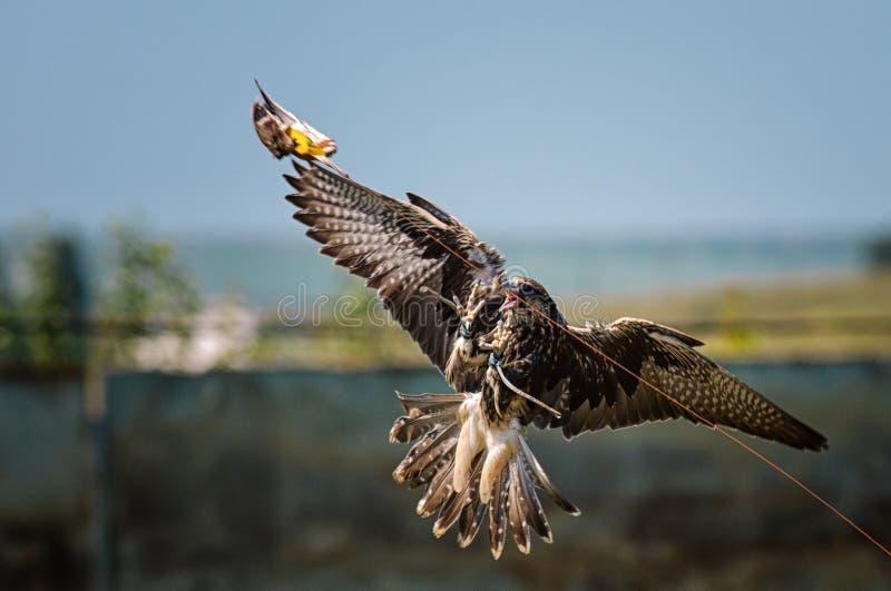 Piloter un cherrug de Falco de faucon de Saker pendant une expérience de fauconnerie photos stock