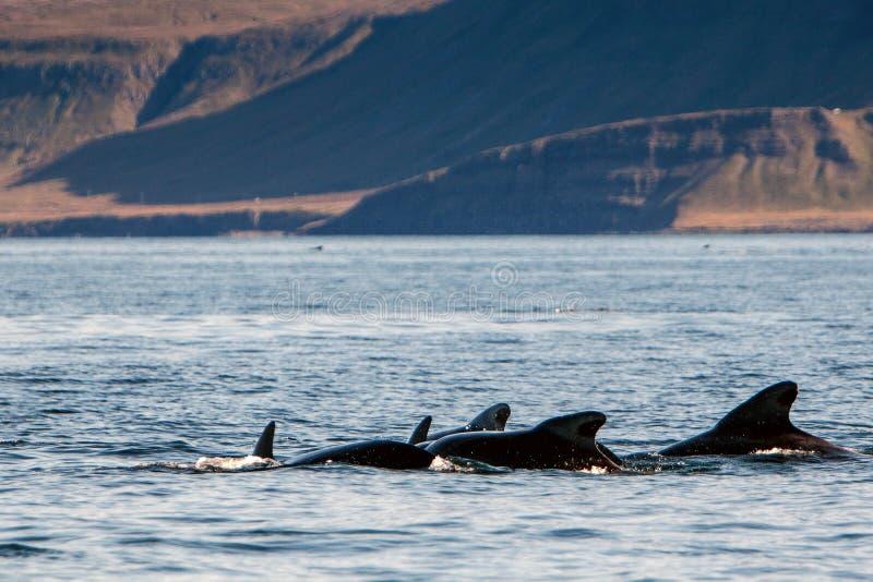 Piloto Whales fotos de archivo