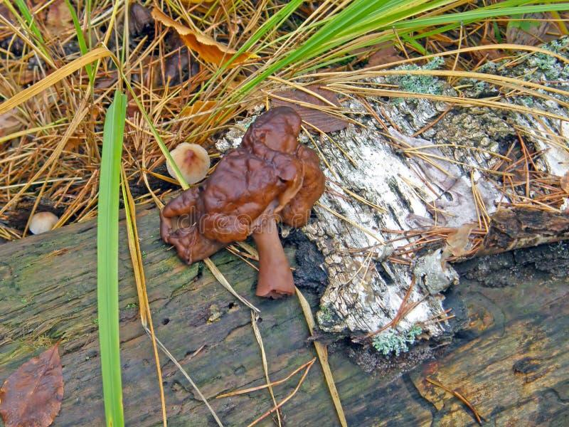Pilz auf dem Stamm einer Birke stockbilder