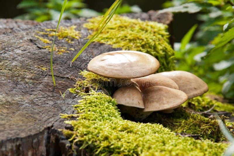 Pilz auf einem Stummel. lizenzfreies stockfoto