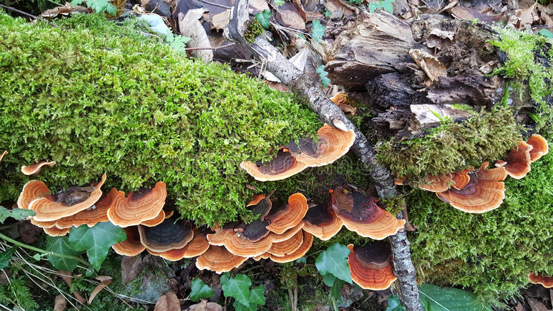 Pilz an einem Baum lizenzfreie stockfotografie