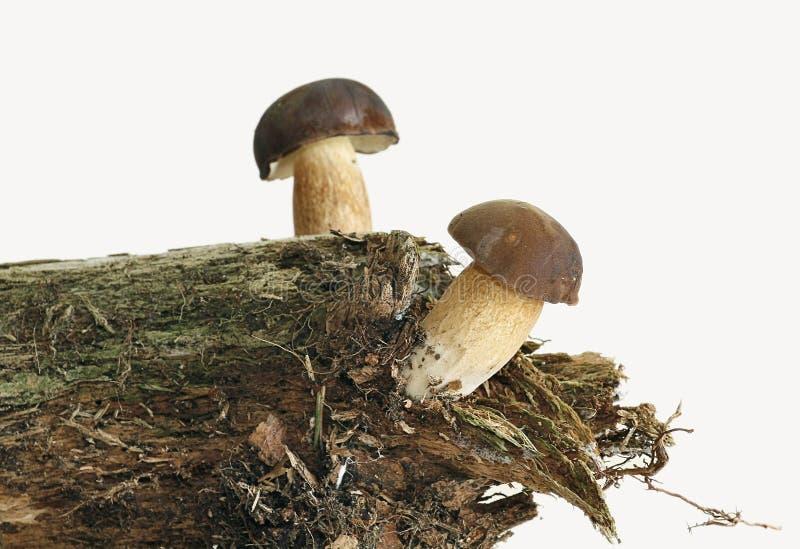 Pilz getrennt stockbilder