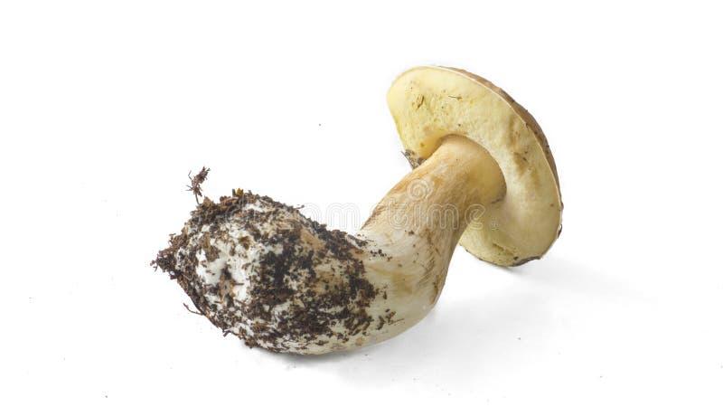 Pilz getrennt auf Weiß stockfotos