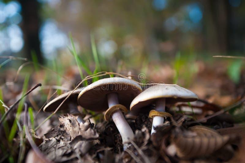 Pilz im Naturabschluß herauf Foto stockfotografie