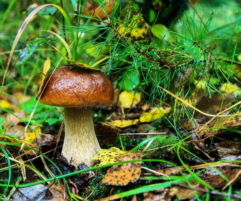 Pilz im Wald lizenzfreies stockfoto