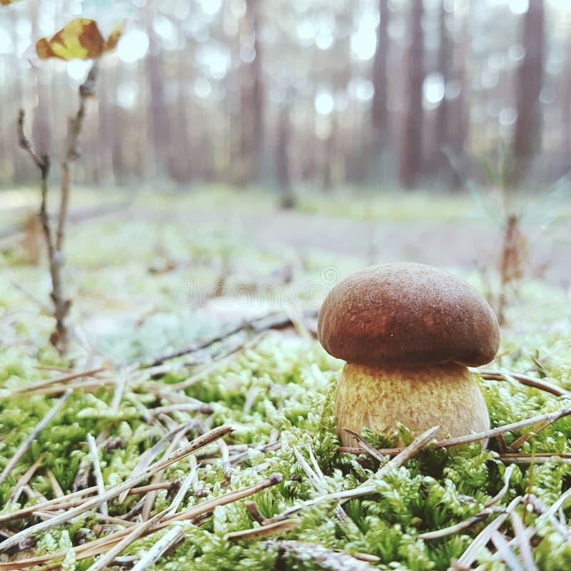 Pilz, pieczarka/ obrazy stock