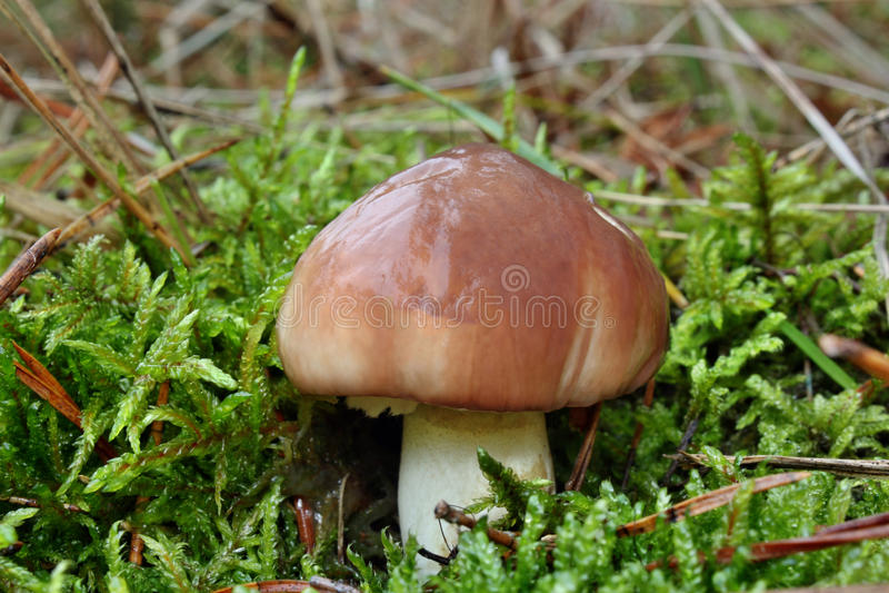Pilz Suillus luteus stockbild