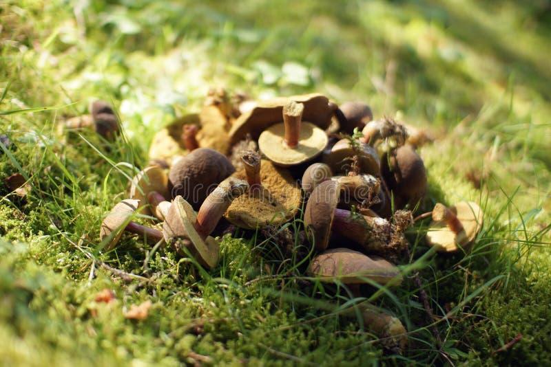 Pilze auf einem Gras stockbilder