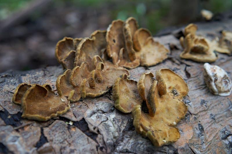 Pilze, die auf einem toten Klotz wachsen stockbilder