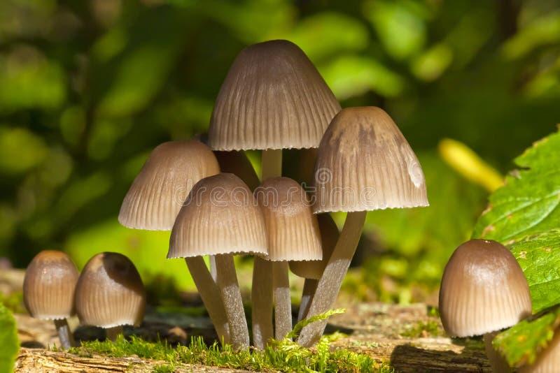 Pilze in einer Gruppe im Herbst lizenzfreie stockfotos