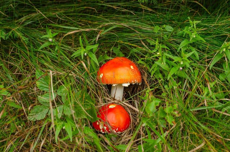 Pilze im Gras lizenzfreie stockfotos