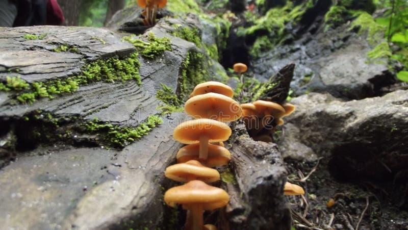 Pilze im keeriganga Indien stockbild