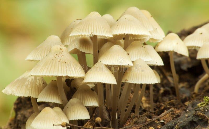 Pilze Mycena Abramsii lizenzfreies stockfoto