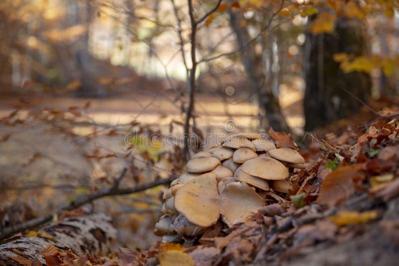 Pilze Nationalpark Sevenlakes in Autumn Bolu Turkey Yedigoller-milli Park stockbild