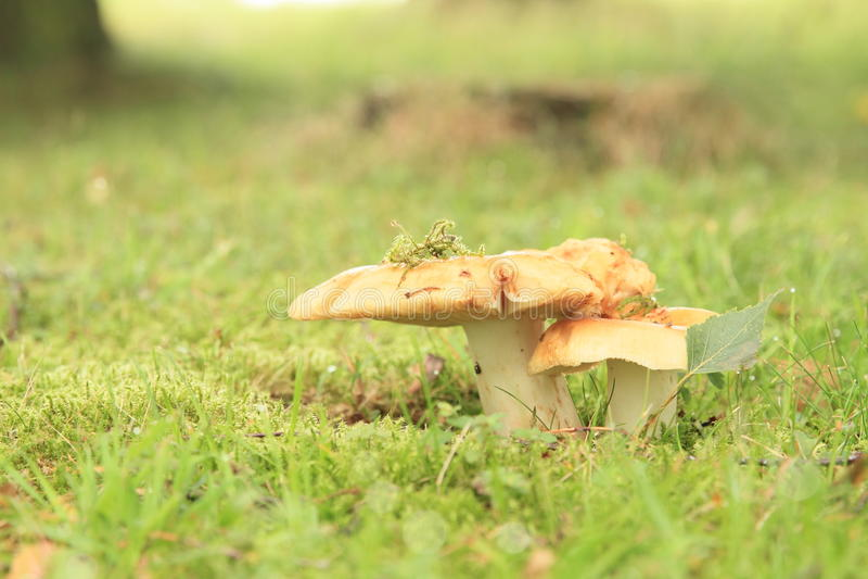 Pilze Russula lizenzfreies stockfoto