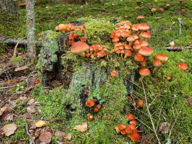Pilze sind auf einem Stumpf im Wald wachsend stockfotografie