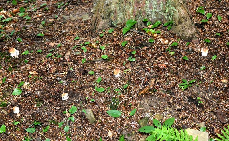Pilzkopfbildung in den Wald lizenzfreie stockfotos
