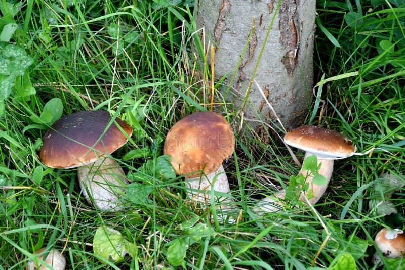 Pilzkopfbildung in den Wald stockfotos