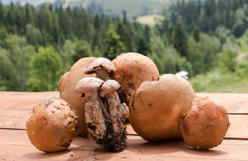 Pilzkopfbildung in polnische Berge Orange Boletesammlung lizenzfreie stockfotos