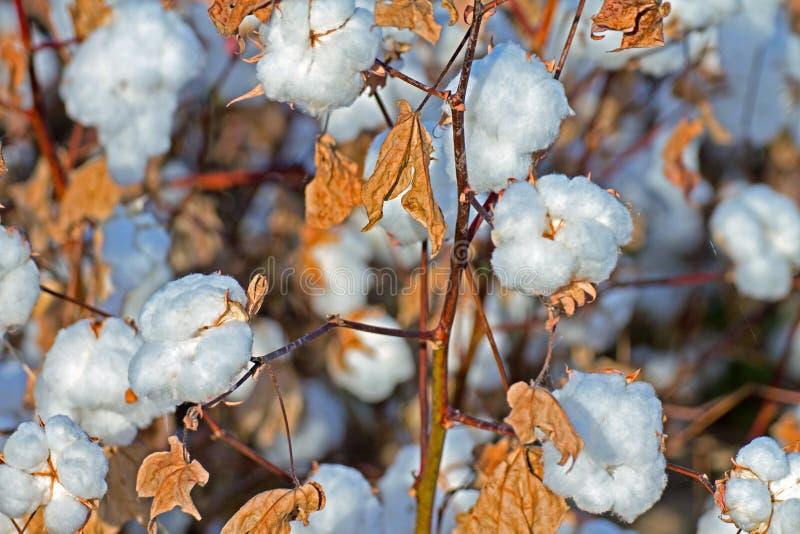 Pima Cotton Field. Ripe cotton plants in an Arizona desert farm cotton field royalty free stock photos