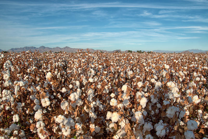 Pima Cotton Field. Ripe cotton plants in an Arizona desert farm cotton field royalty free stock image