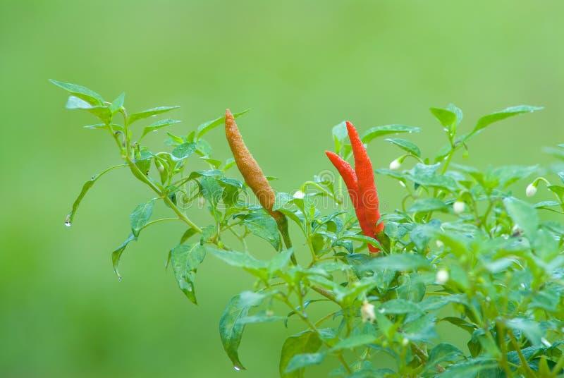 Pimentão fresco na planta. fotografia de stock royalty free