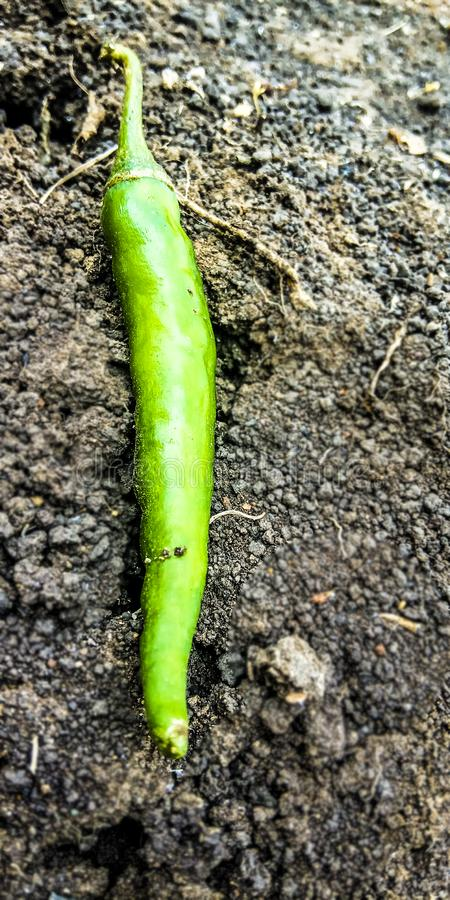 Piment vert au sol photo stock