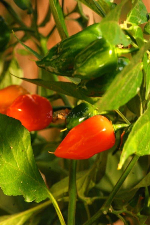 Pimenta quente fotografia de stock