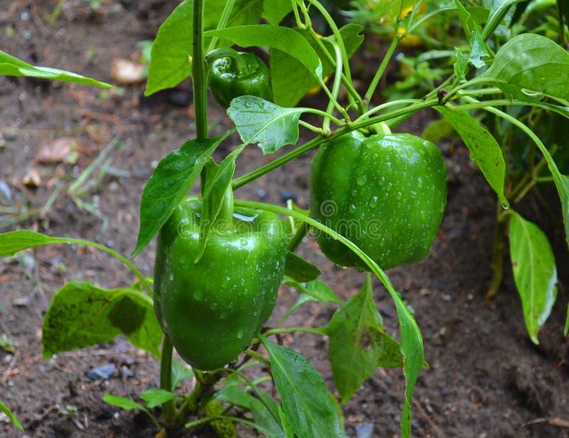 Pimenta verde madura no jardim imagem de stock