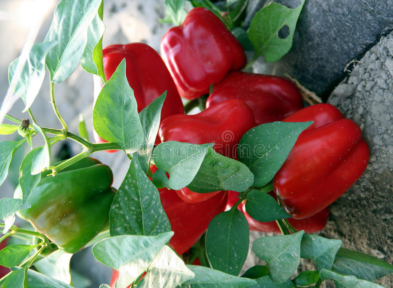 Pimenta vermelha na planta imagens de stock