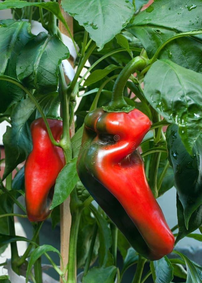 Pimentas que amadurecem na planta imagem de stock royalty free