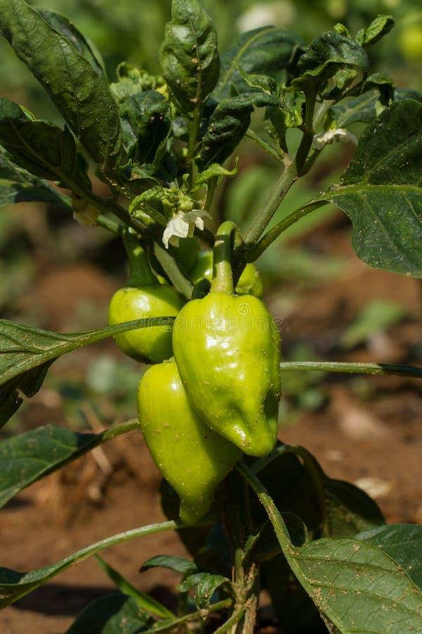 Pimentas verdes no arbusto Primeiros frutos imagem de stock