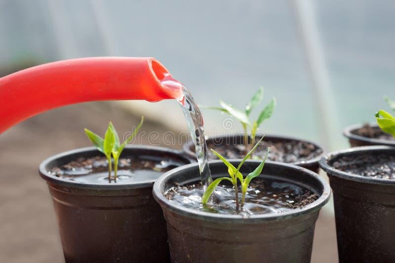 Pimienta de riego de la planta de semillero imagenes de archivo