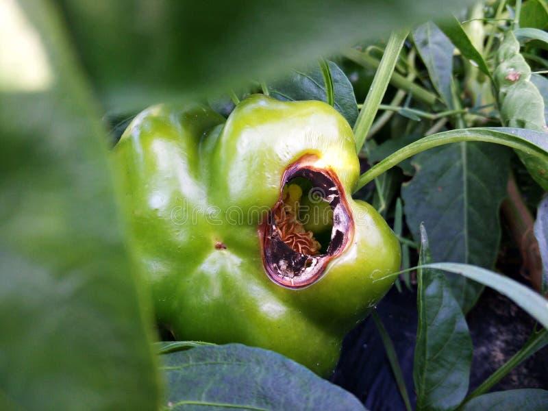 Pimienta verde con enfermedad foto de archivo