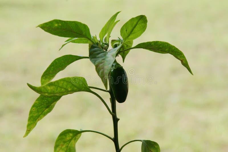 Pimienta verde creciente del Jalapeno foto de archivo libre de regalías