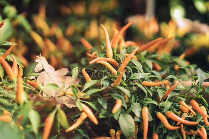 Pimientas Annuum en el otoño, al aire libre, hoja caida floristería del pimiento amarillo ornamental del roble de la calle imagenes de archivo