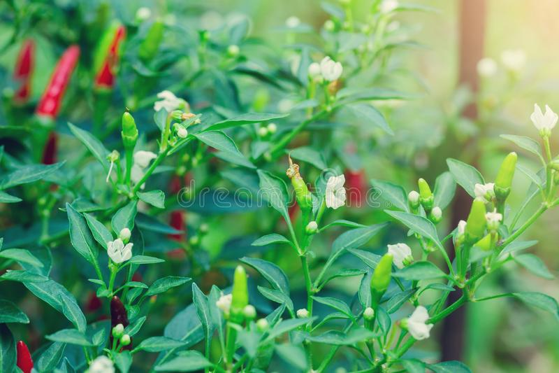 Pimientas de chile rojo y pimientas de chile verdes con la hoja verde borrosa y las flores blancas imagenes de archivo