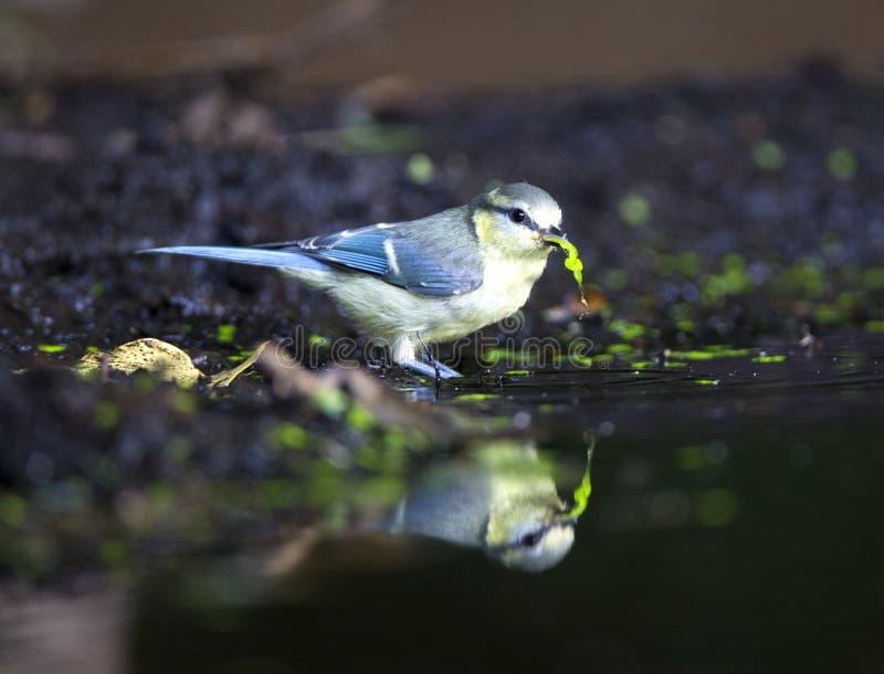 Pimpelmees blå mes, Cyanistes caeruleus royaltyfri fotografi