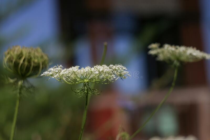 Pimpernel saxifrage pimpinella saxifraga. Perennial fragrant herbaceous plant of the Umbrella family royalty free stock photo