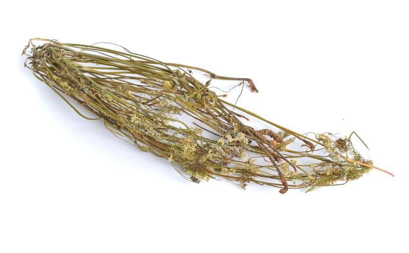 Pimpinella saxifraga, znać jako badan, solidstem krwiściąg badan, lesser krwiściąg Wysuszona lecznicza roślina zdjęcia stock