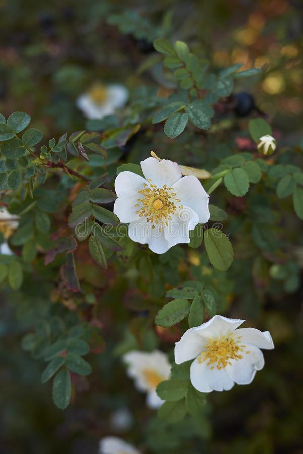 Pimpinellifolia Роза в цветени стоковая фотография rf