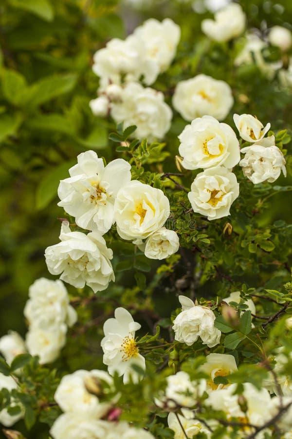 Pimpinellifolia Розы стоковые фото