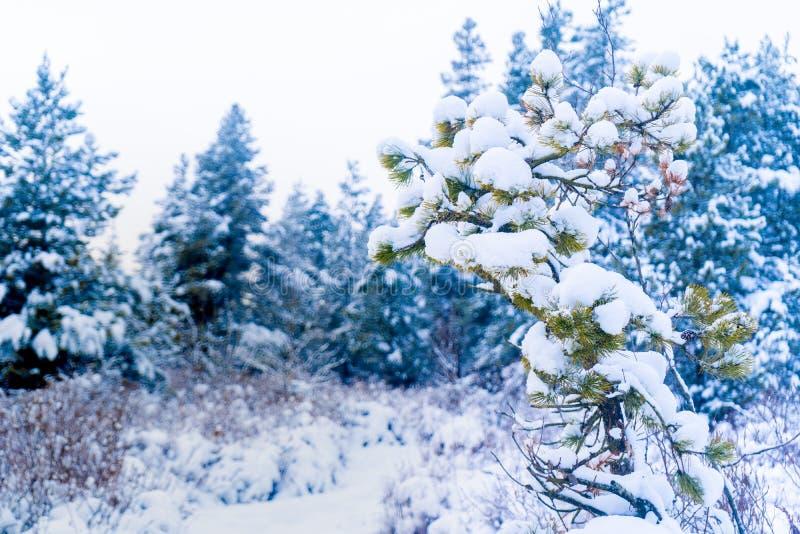 Pin à feuilles persistantes en chutes de neige après une tempête de neige dans le delta de Vancouver AVANT JÉSUS CHRIST, au marai photographie stock