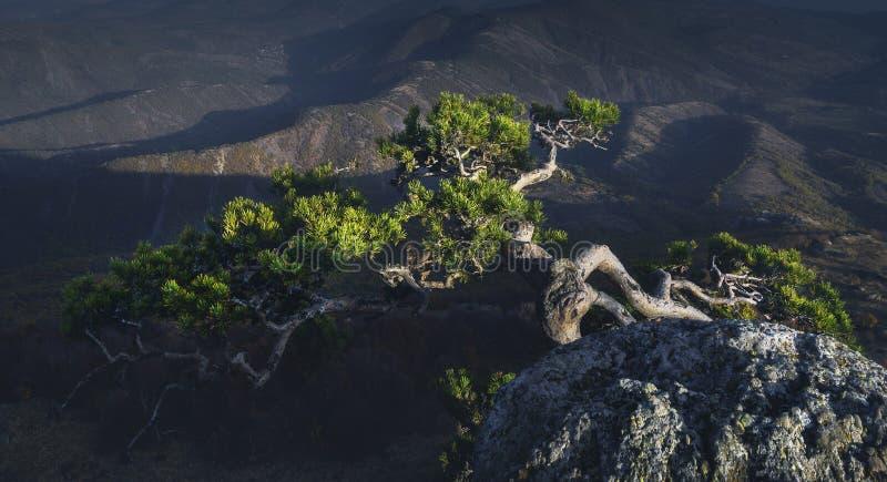 Pin à tronc tordu au sommet de la montagne Panorama horizontal image libre de droits