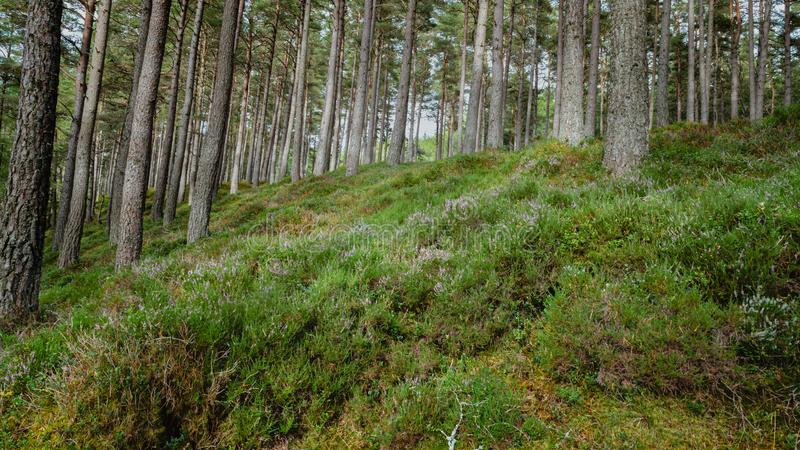 Pin écossais Forest Floor images stock