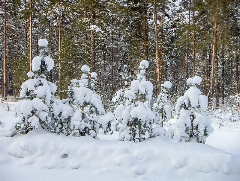 Pin après des chutes de neige image libre de droits