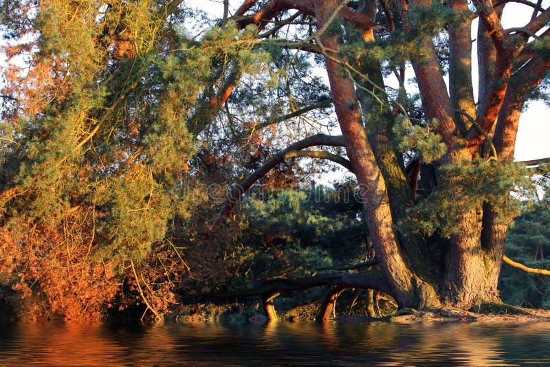 Pin avec ses branches arquant au-dessus de l'eau image stock